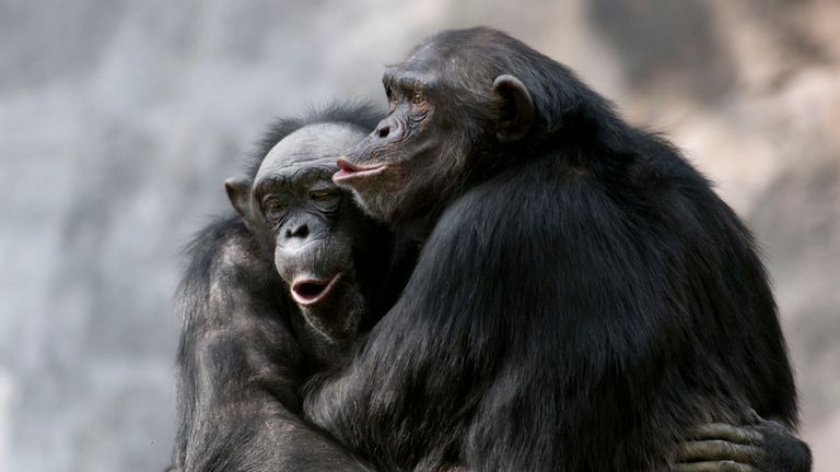 The responses of seven chimps to music were studied